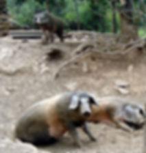 Porcos Quinta do Bísaro
