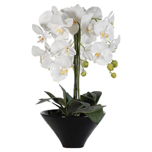 Sublime White Orchid Plant