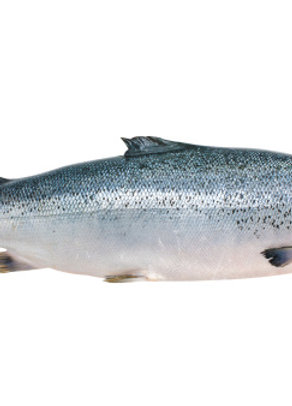 Whole gutted Salmon with head
