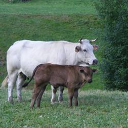 Vache élévage Pyrénées