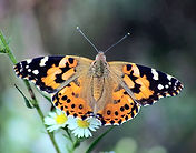 CR Insect - Painted Lady