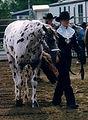 Appaloosa Show Horses For Sale