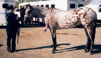 Appaloosa Horses For Sale Brood Mare show mare Youth Mare