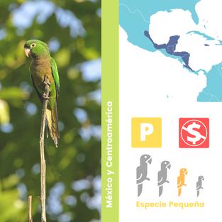 Periquito Azteca