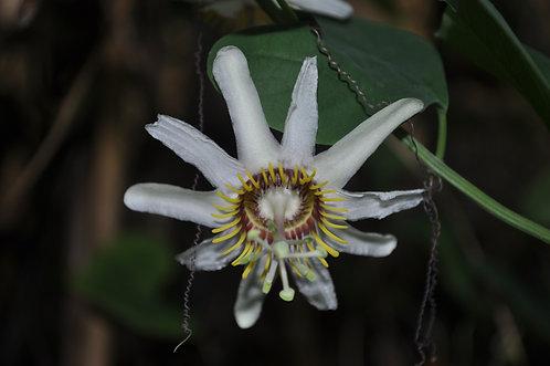 yucatanensis