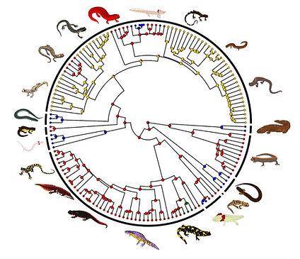 salamander phylo.jpg