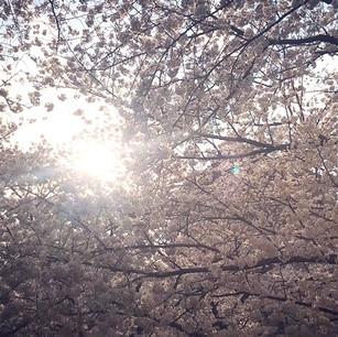 「カワイイ🌸 Kawaii」の季節。