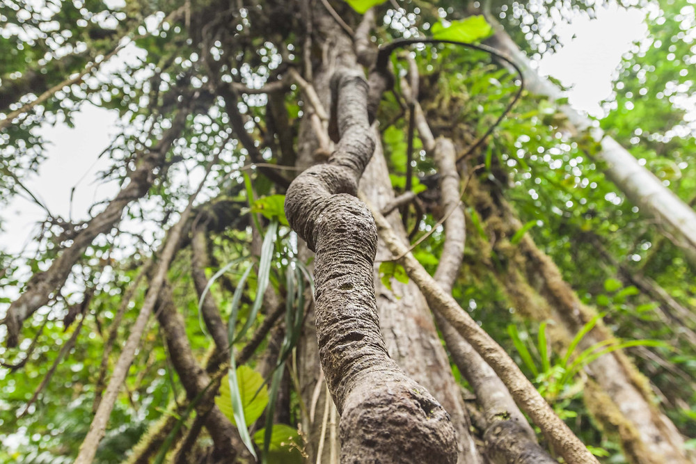 ayahuasca chakruna planta sagrada