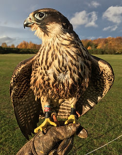 Falconry Response to Bird Proofing in Birmingham