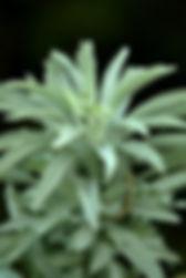 PLANT SAGE.jpg