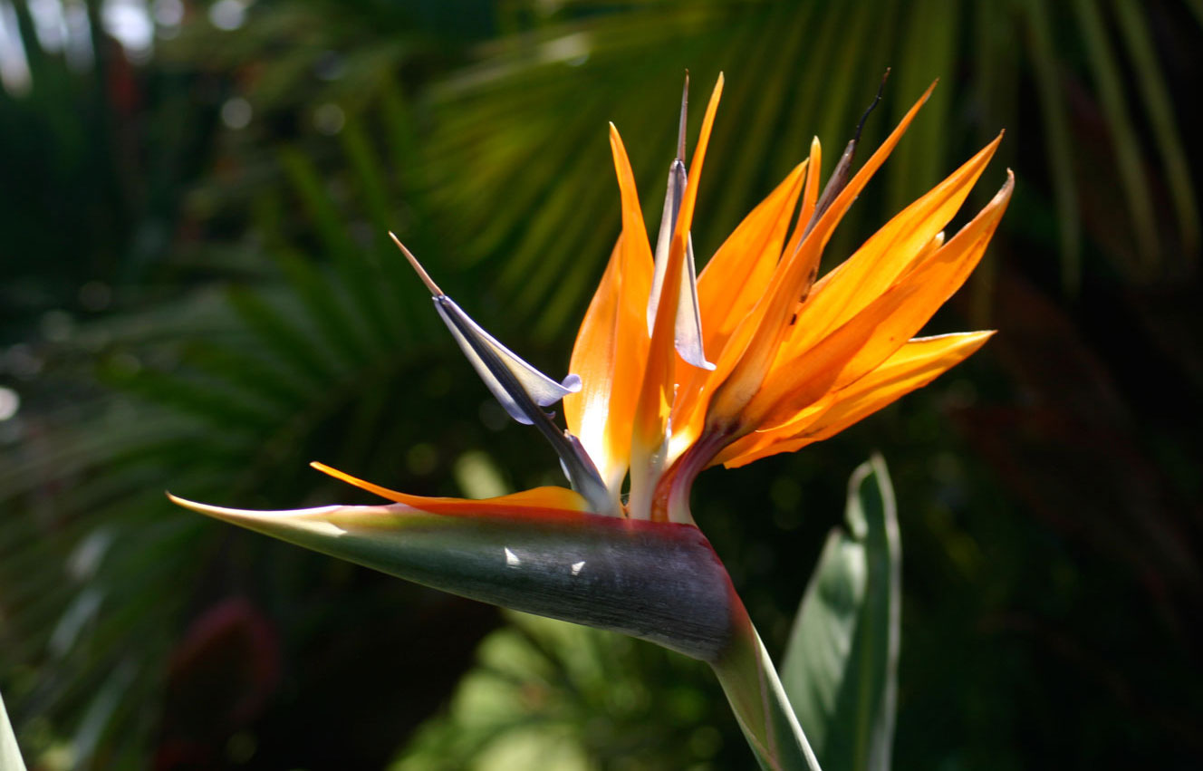 Beach_Villas_Bird_of_Paradise_Flower_1328x851