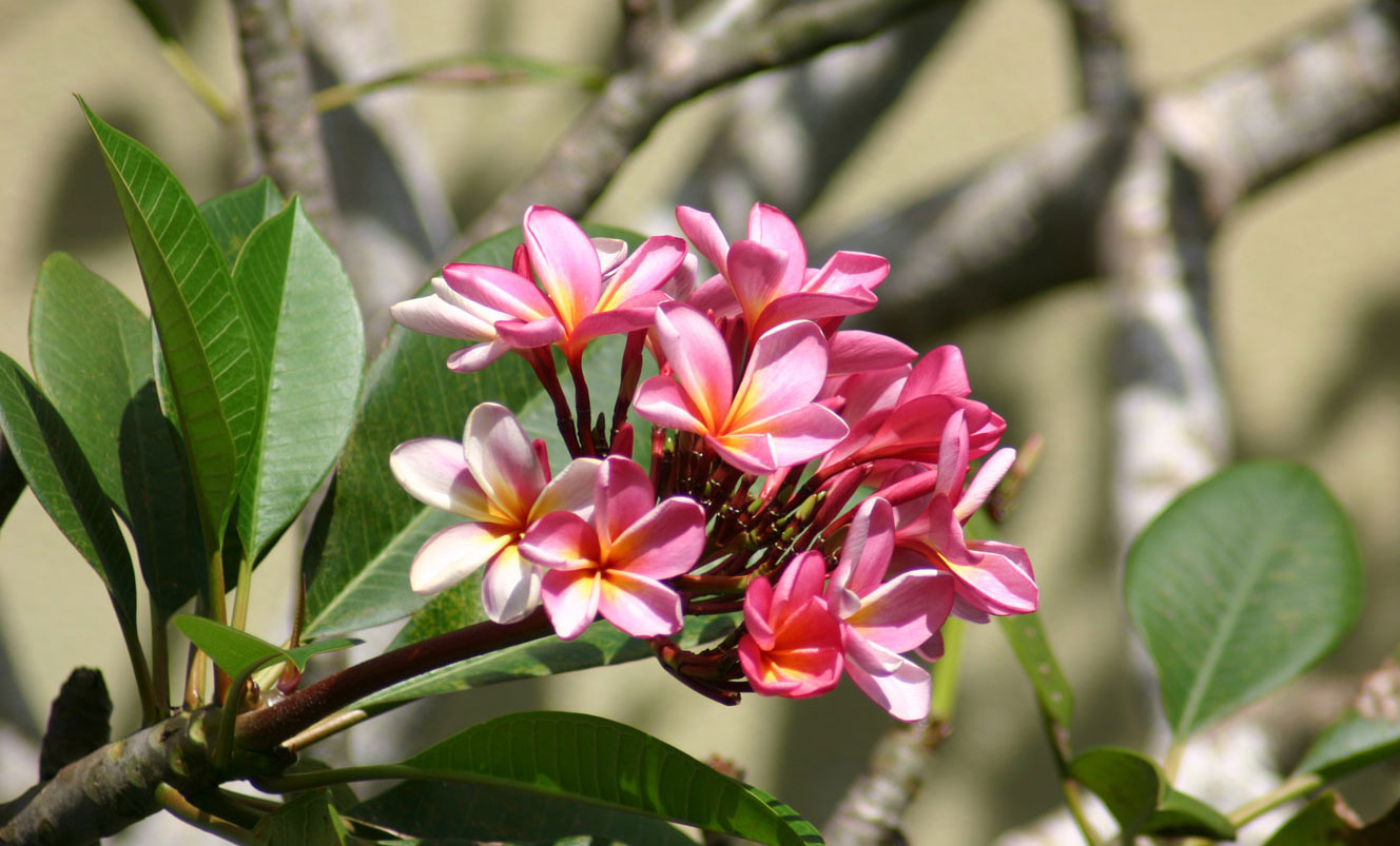 Beach_Villas_Plumeria_Flower_1328x803
