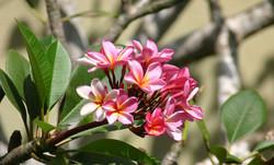 Beach_Villas_Plumeria_Flower_1328x803