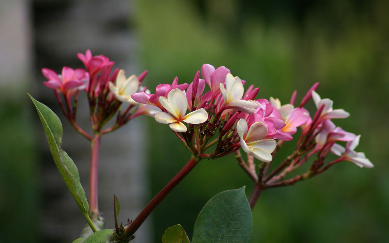 Beach_Villas_Plumeria_Flower_1329x833