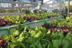rooftop-hydroponic-farming