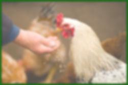 another chicken.jpg