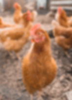 A chicken eating feed containing Capsaicin
