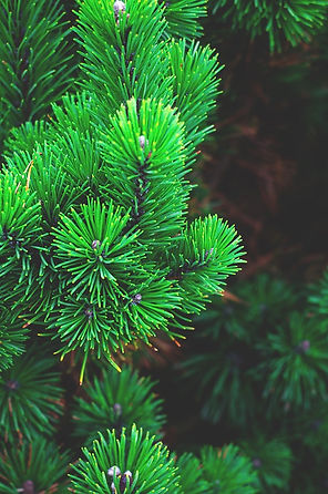 pine-1884335_1280.jpg