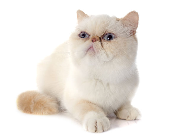 exotic shorthair cat in front of white b