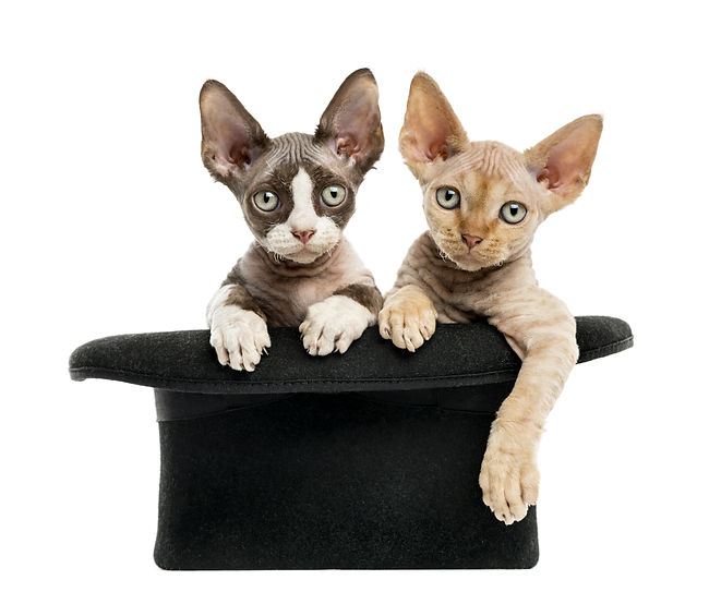 2 Devon rex getting out of a hat isolate