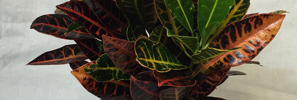Croton Plant- Medium Size