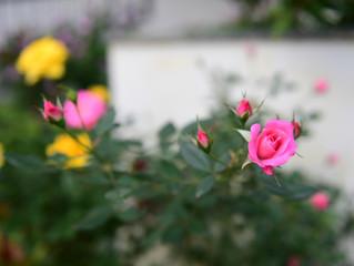Vườn hồng cho em