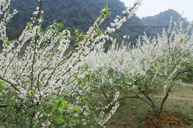 Mùa hoa mận trắng