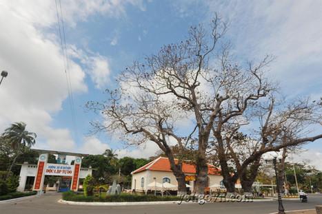 Cây bàng Côn Đảo