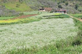 Mùa xuân trên thảo nguyên Mộc Châu
