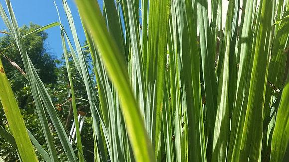 Lemon Grass, tallos para cocinar x 30 gr.