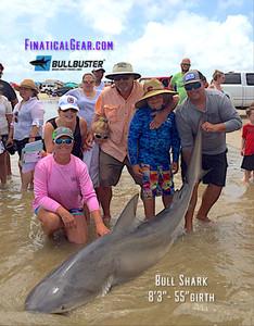 8 foot bull shark