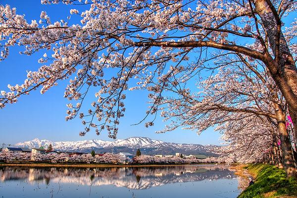 Myoko Range Reflection with Cherry Bloss