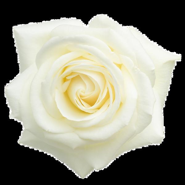 White-Rose-Hydrosol-Rosa-alba-Hydrolat-F