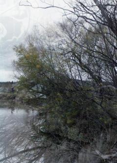 Acacia pycnantha, 2020, Sinead Allison