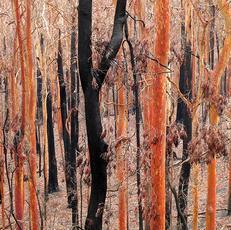 4. Shedding Bark After Fires - Marie Lund