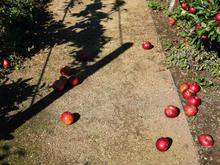 Sarah Rhodes, Fallen Apples, 2021, Digital print on cotton rag, 173cm x 130cm