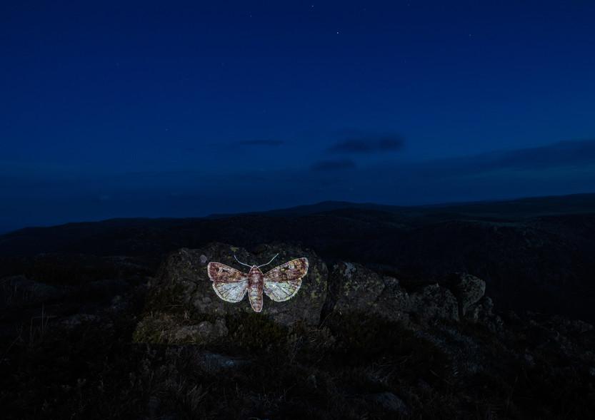 Vic McEwan, Bogong Moth 1 - Mt Mackay, 2020