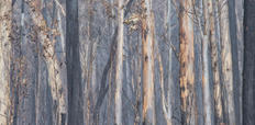 53. Burnt Snowy Mountains gums