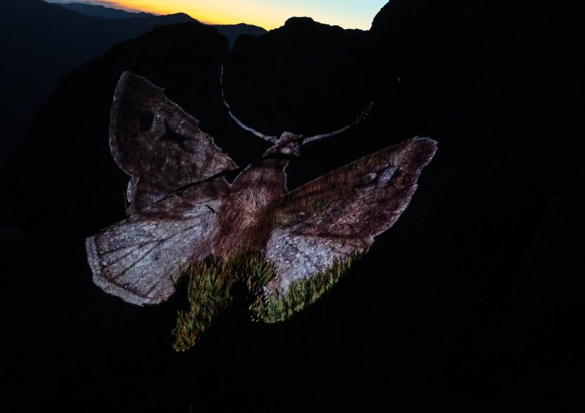 Vic McEwan, Bogong Moth 2 - Mt Mackay, 2020