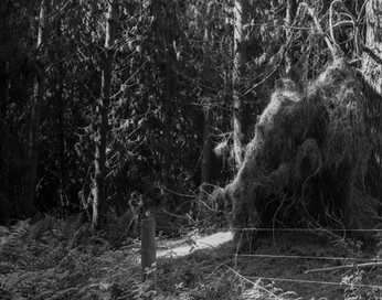 Pūrākaunui pine forest