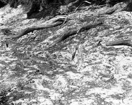Tōtara roots overlooking the Pacific Ocean