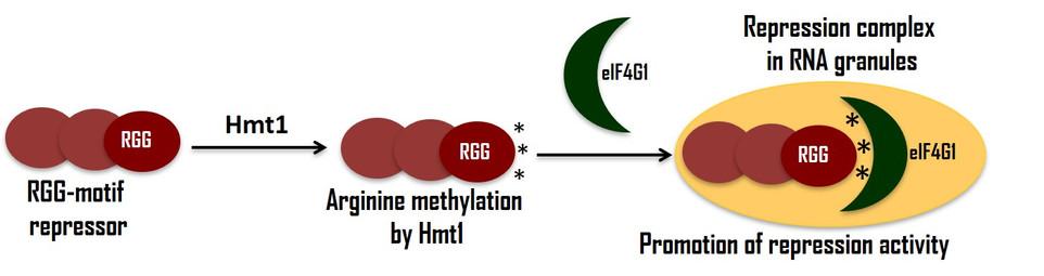 arginine methylation.jpg
