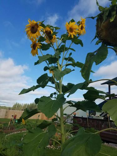 Garden Sunflowers
