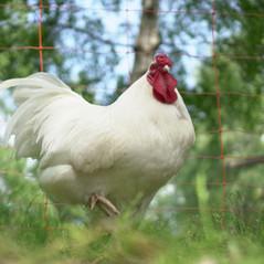 Schweizer Hühner