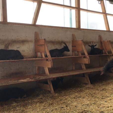 Die Ziegen im Winter