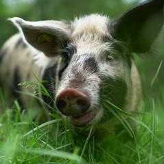 Turopolje Schweine