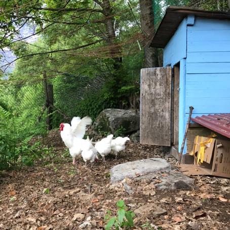 Alfi und die 7 Hühner