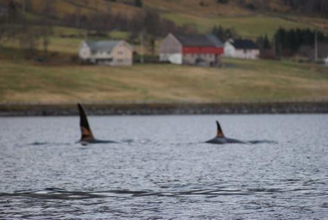 Orcas visiting Syvdefjorden