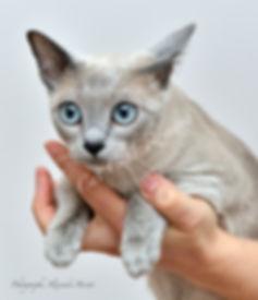 Tonkinois de Cémafaune, Pension-chats.ch