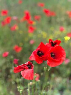 Gelée de fleurs de coquelicot